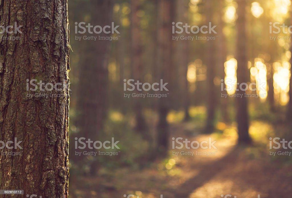 Sunlight bokeh through Trees in Evergreen forest - UK stock photo
