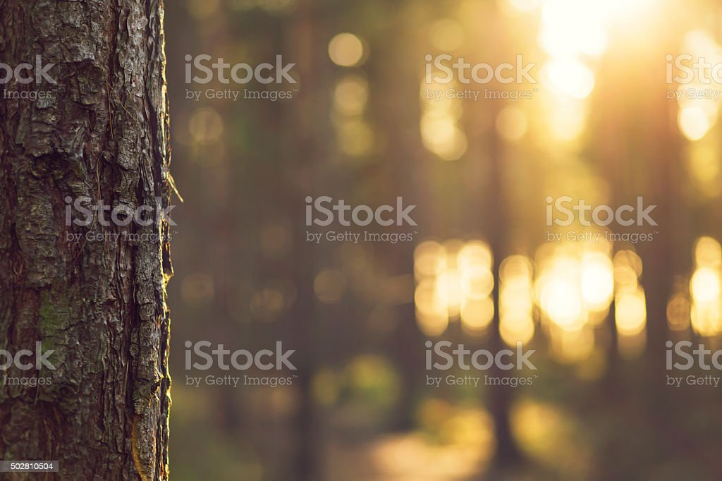 Sunlight bokeh through Trees in Evergreen forest - UK stock photo