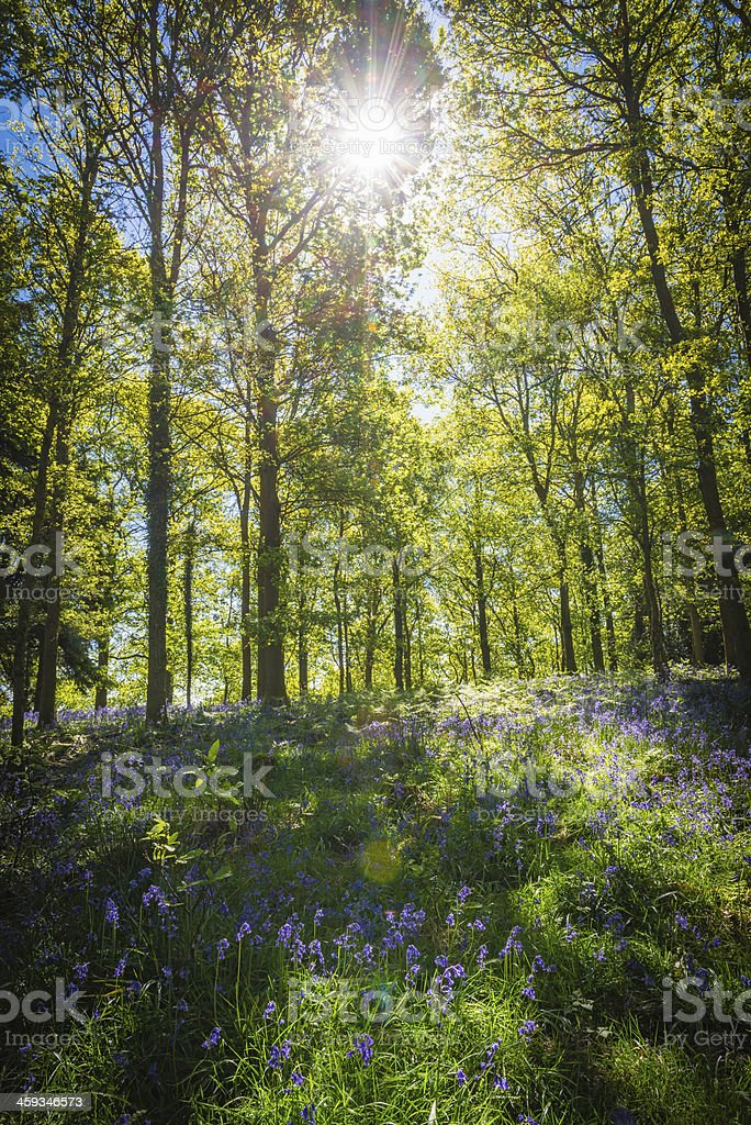 Sunlight bursting through forest canopy over idyllic wildflower woodland royalty-free stock photo