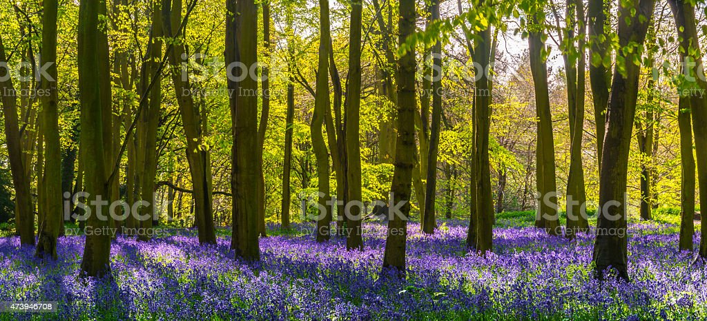 Sunlight casts shadows across bluebells in a wood stock photo