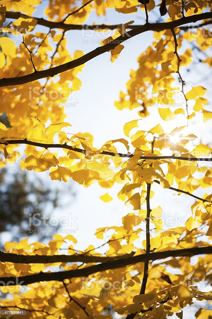Sunlight coming through tree branches with yellow leaves stock photo