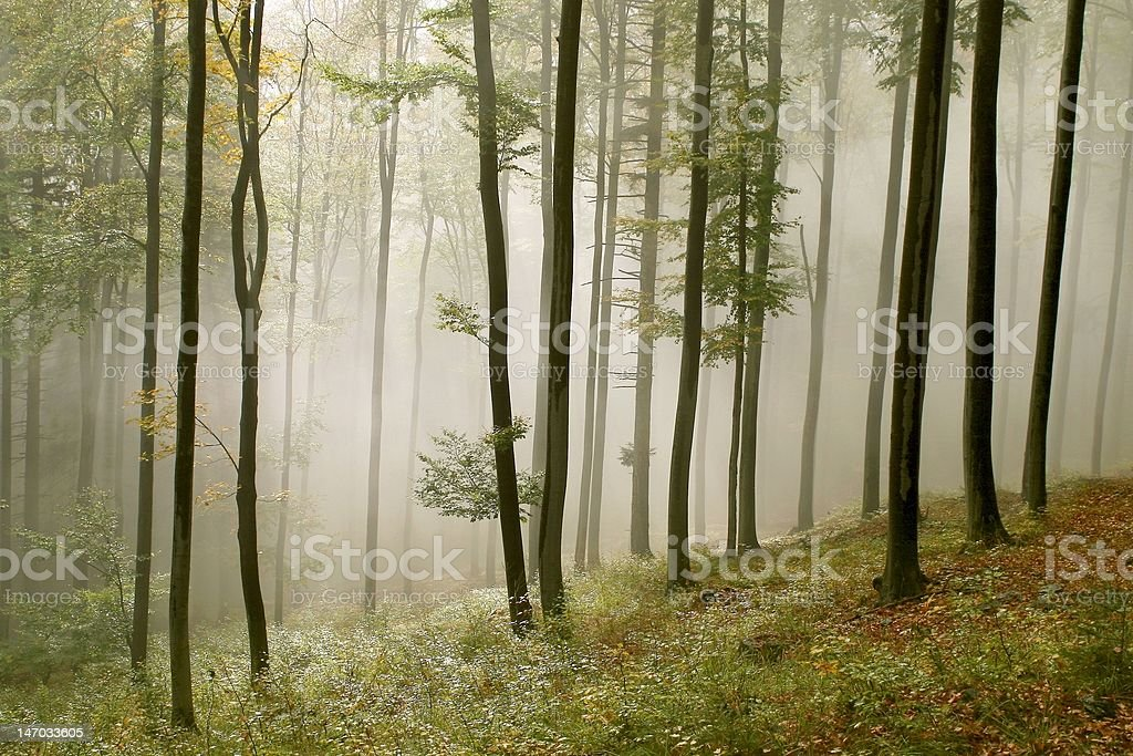 Sunlight falls into the misty forest with beech trees royalty-free stock photo