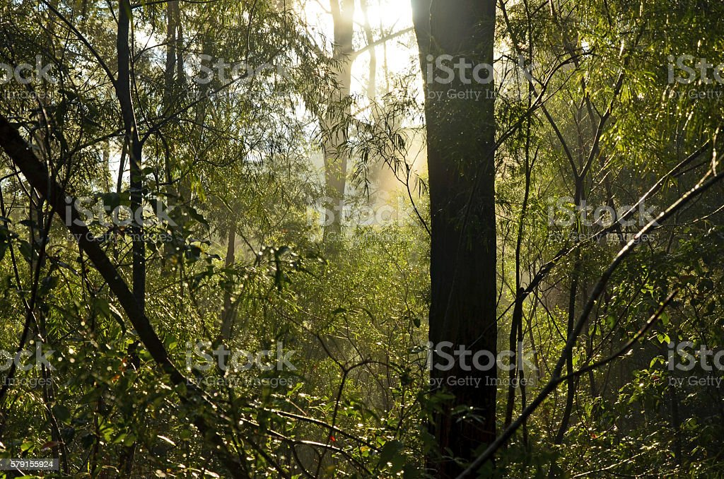 Sunlight filtering through a misty forest scene after the rain stock photo