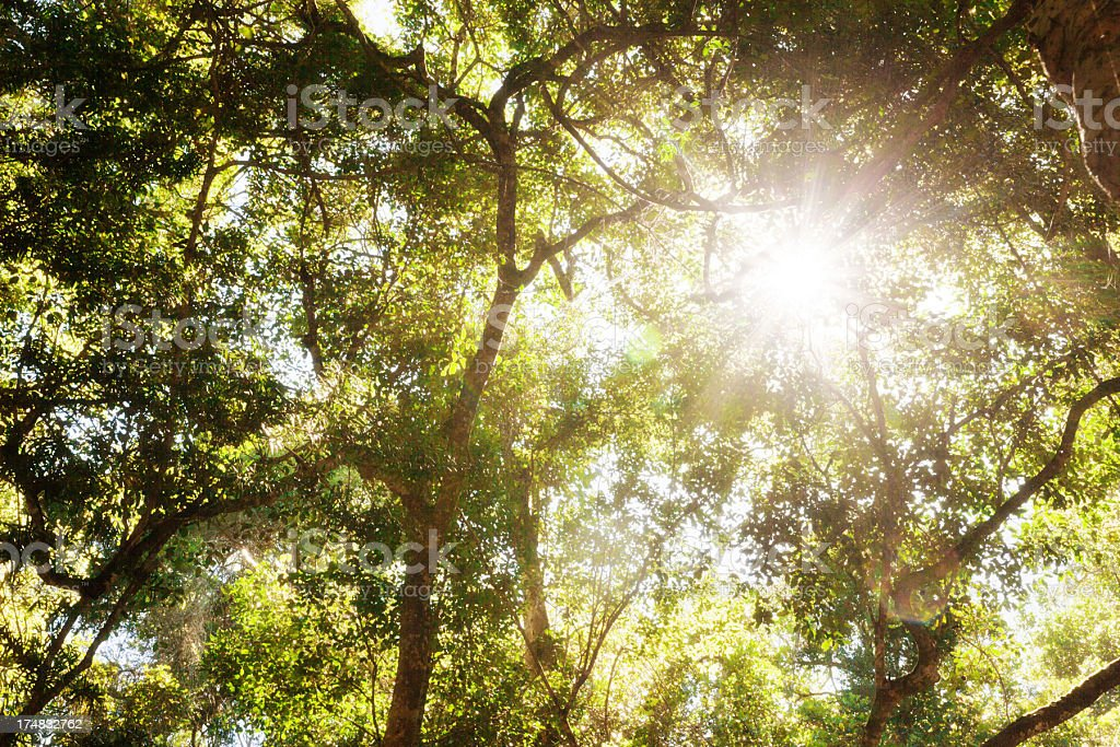 Sunlight filters down through old-growth forest canopy royalty-free stock photo