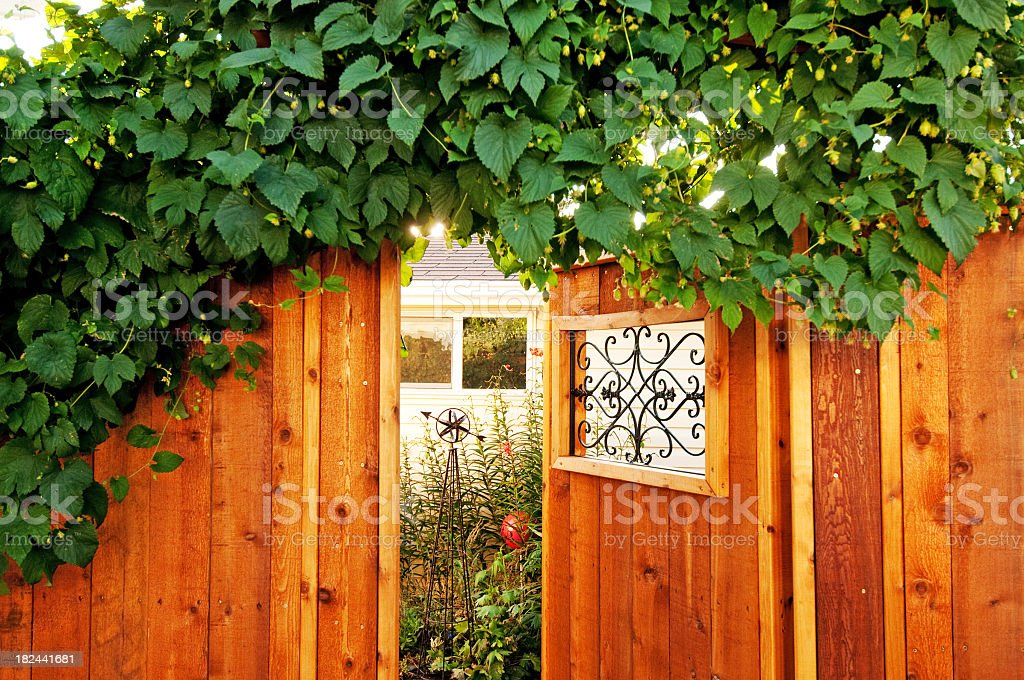 Sunlight filters through a hops plant royalty-free stock photo