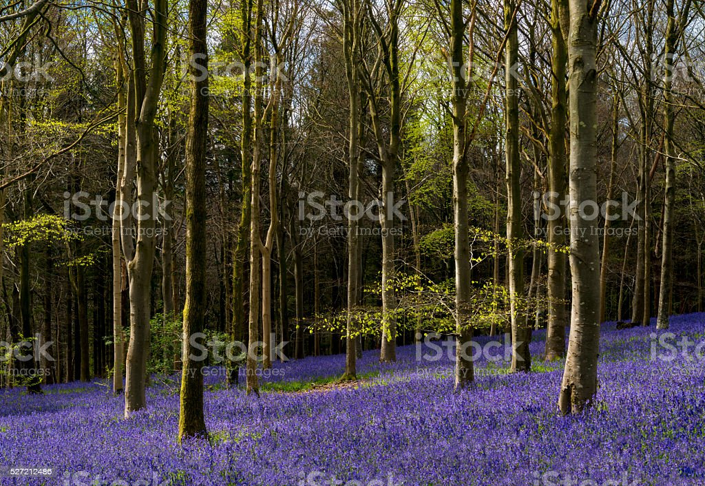 Sunlight illuminates peaceful bluebell woods stock photo