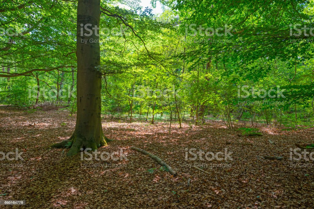 Sunlight in a beech forest in spring stock photo