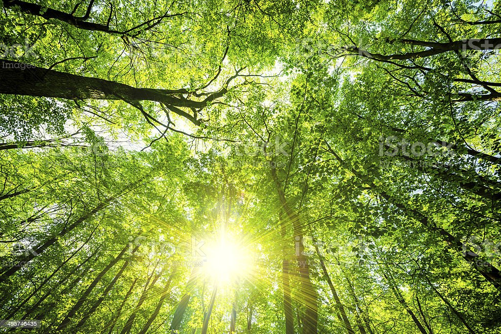 sunlight in a Beech Tree Forest stock photo