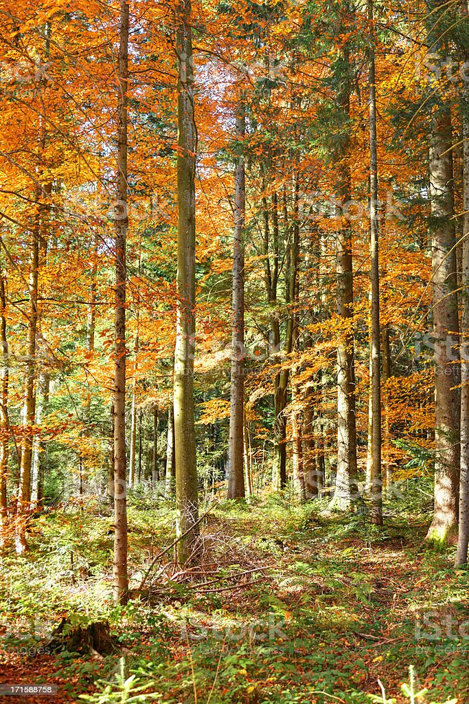 sunlight in autumn forest royalty-free stock photo