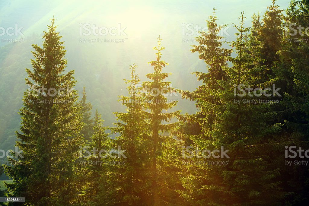 Sunlight in spruce foggy forest on background of mountains stock photo