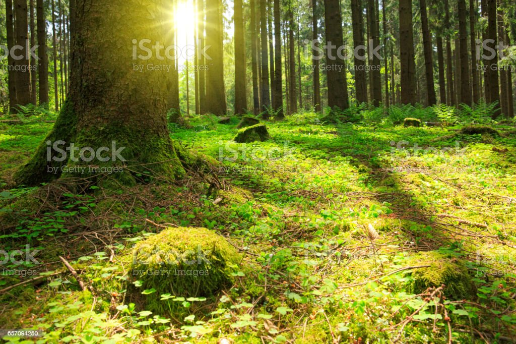 Sunlight in the green forest stock photo