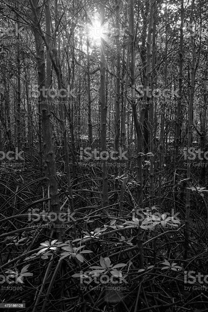 Lumière du soleil dans la forêt de mangrove photo libre de droits