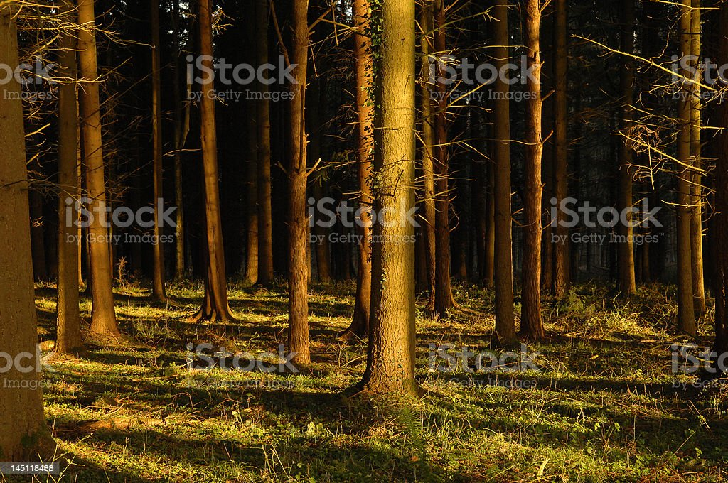 sunlight in the woods royalty-free stock photo