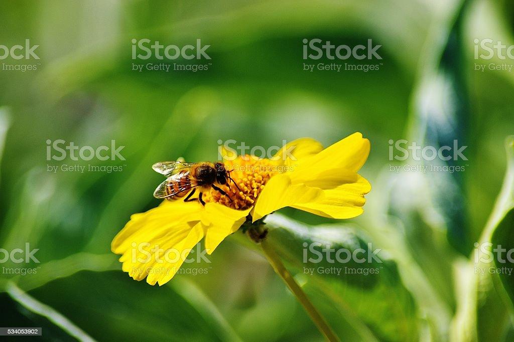 Sunlight on wings of Honey Bee stock photo
