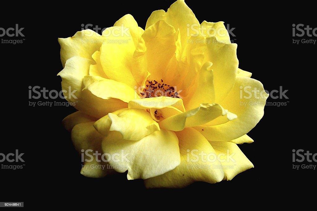 Sunlight on yellow garden rose royalty-free stock photo