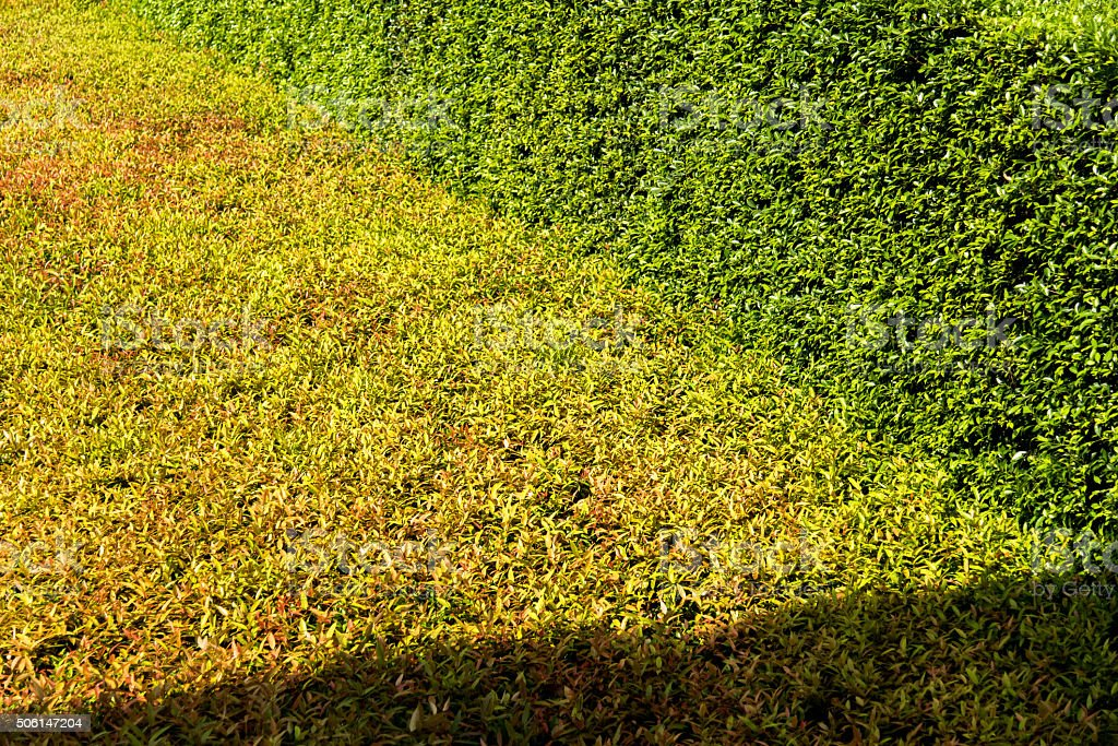 sunlight shadow pass through on texture of color shrub leafs stock photo