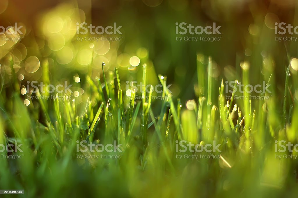 Sunlight shines through  blades of grass. royalty-free stock photo