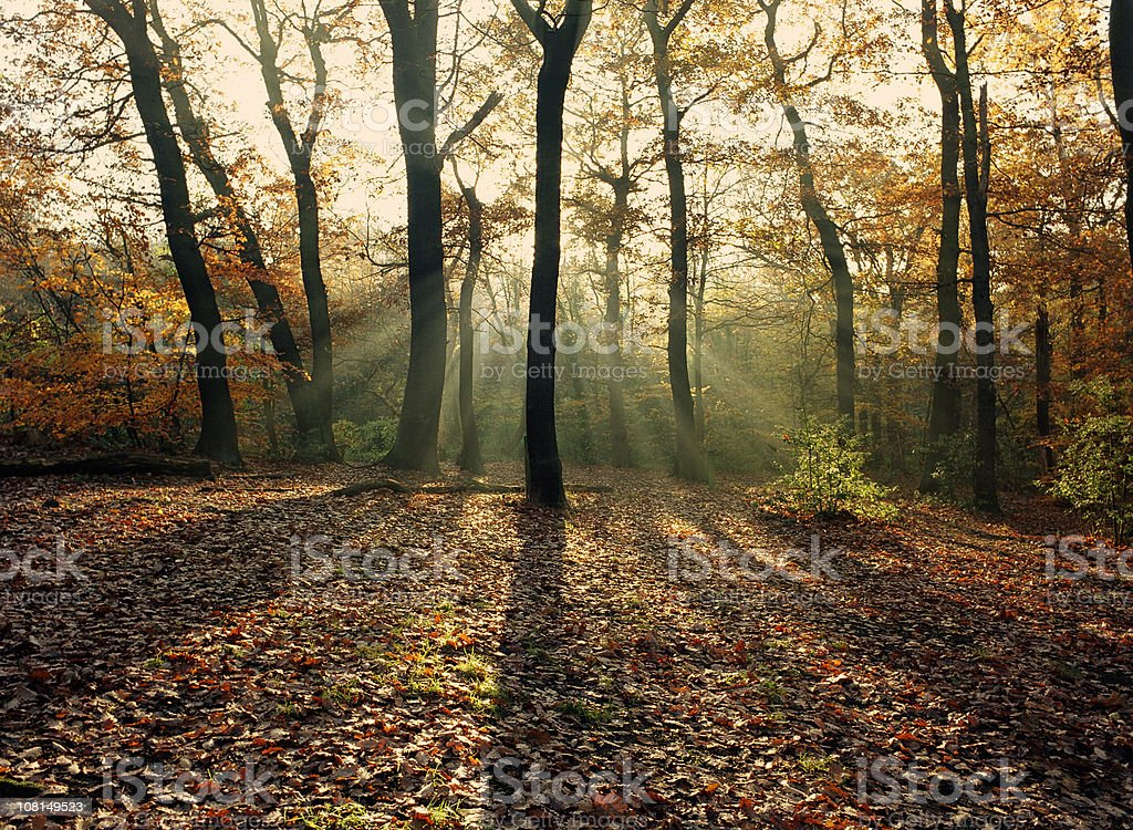 Sunlight Shining Through Autumn Trees in Forest royalty-free stock photo