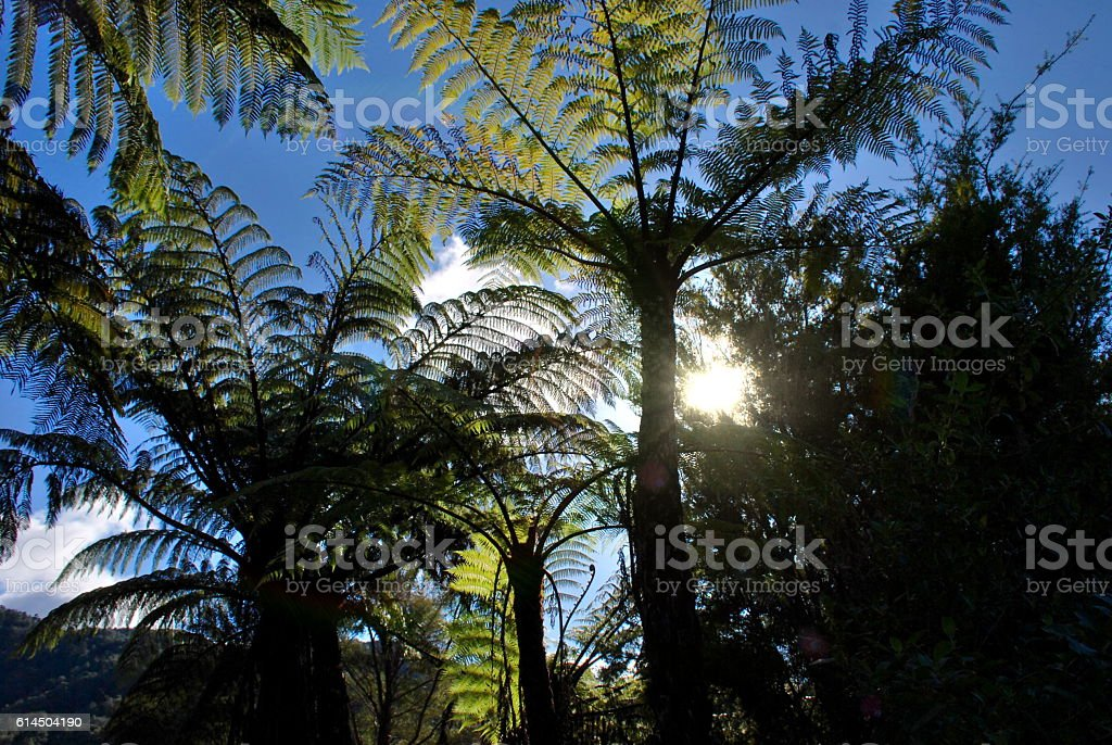 Sunlight shining through NZ native Ponga Ferns stock photo