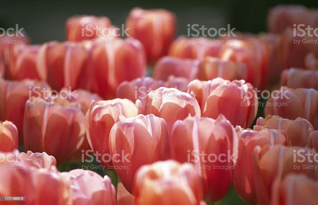 Sunlight shining through tulips stock photo