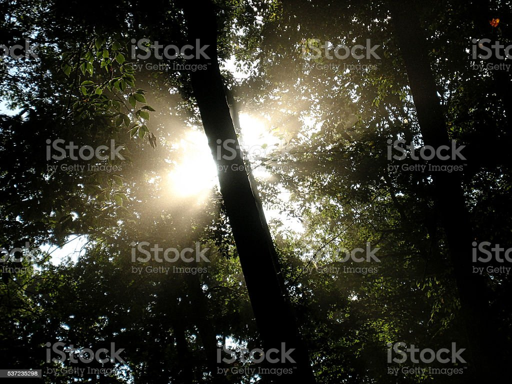 Sunlight Silhouettes a Tree in a Forest stock photo