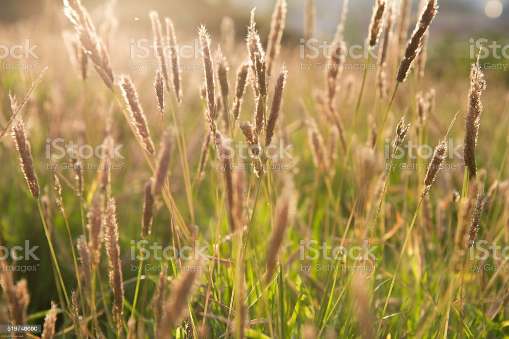 sunlight spray on foxtail grass stock photo
