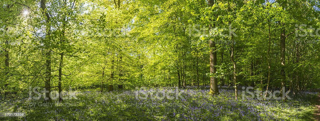 Sunlight streaming through summer woodland idyllic forest panorama stock photo