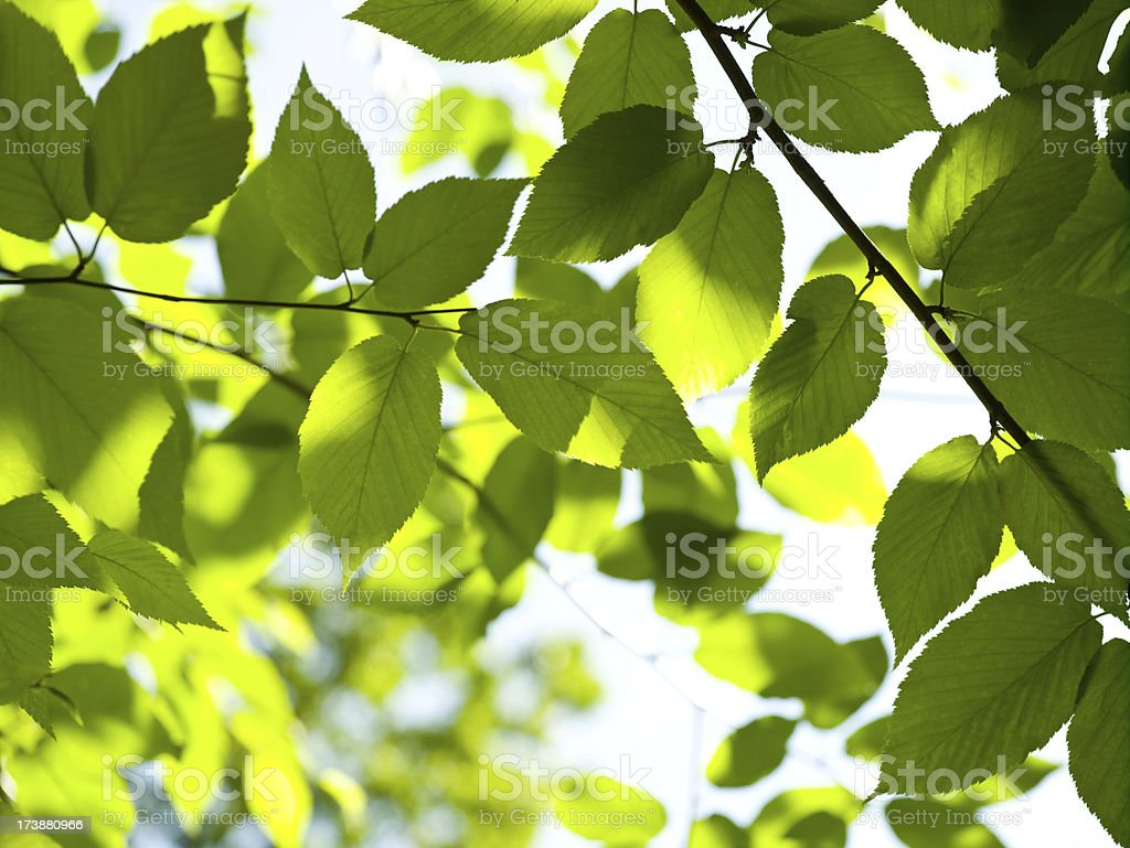 Sunlight streams through leaves stock photo