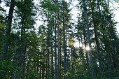Sunlight through a pine forest