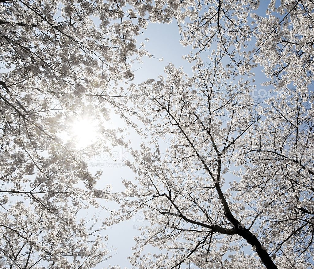 Sunlight Through Cherry Trees royalty-free stock photo