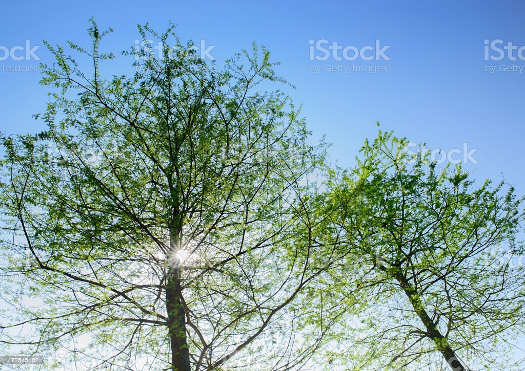 Sunlight through cypress tree crown stock photo