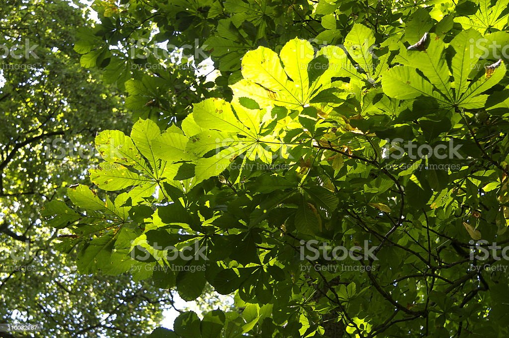 Sunlight through Horse chestnut leaves royalty-free stock photo