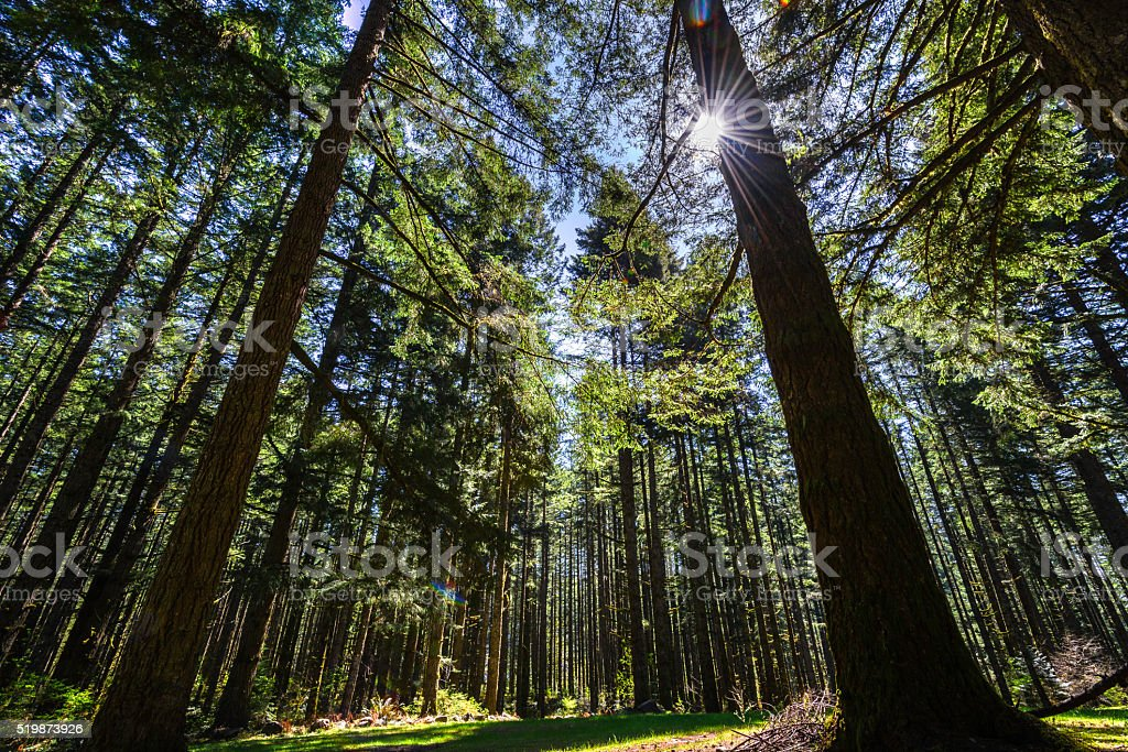 Sunlight through Old Forest stock photo