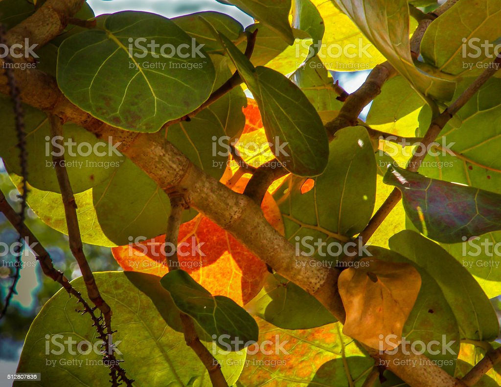 sunlight through seagrape leaves stock photo