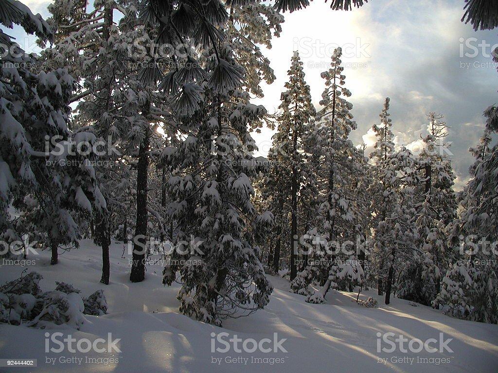 sunlight through snow-flocked trees royalty-free stock photo