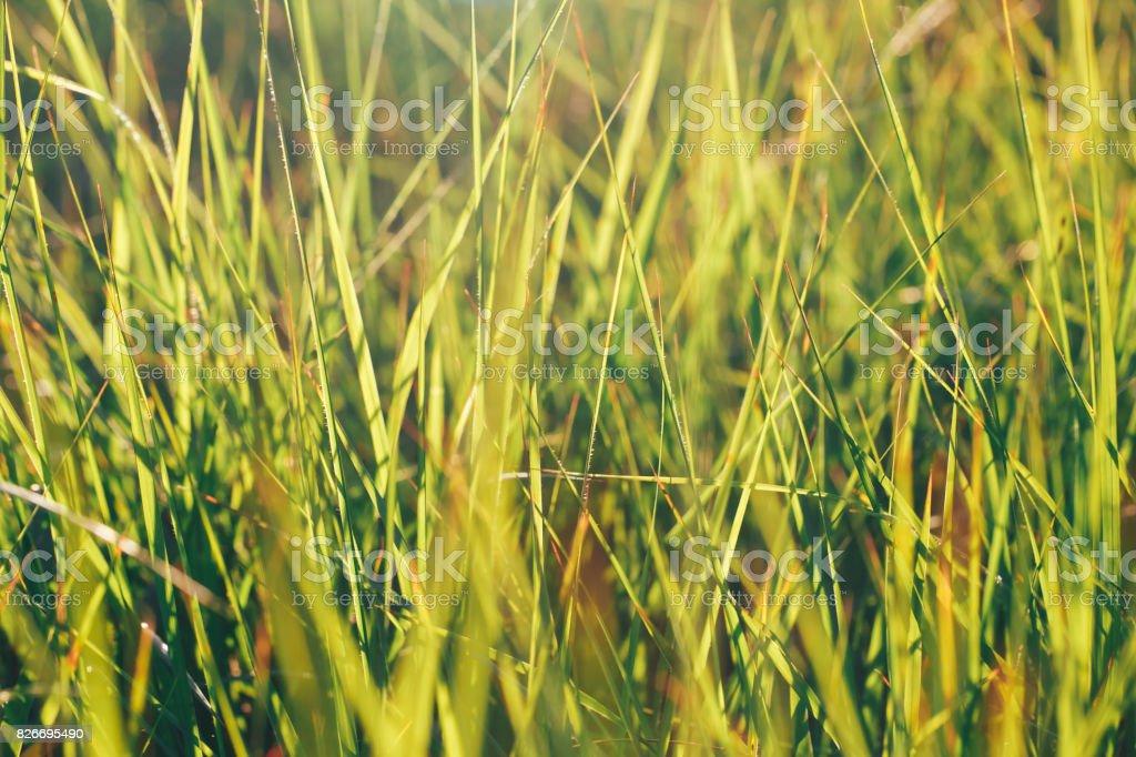 Sunlight Through the Grass stock photo