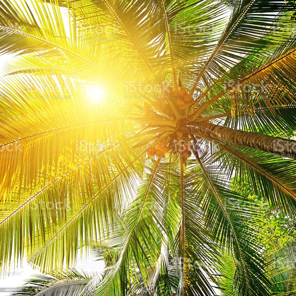 sunlight through the leaves of palm trees stock photo