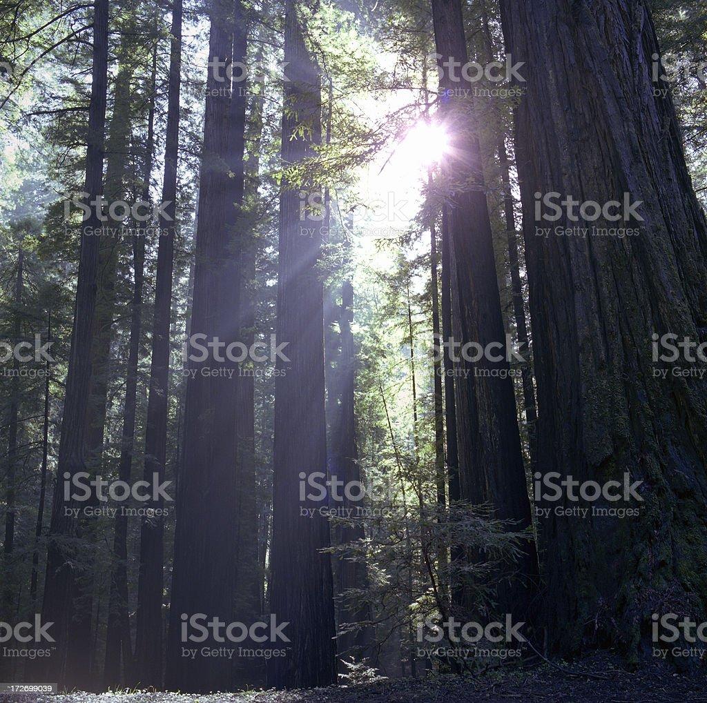 Sunlight Through the Redwoods stock photo