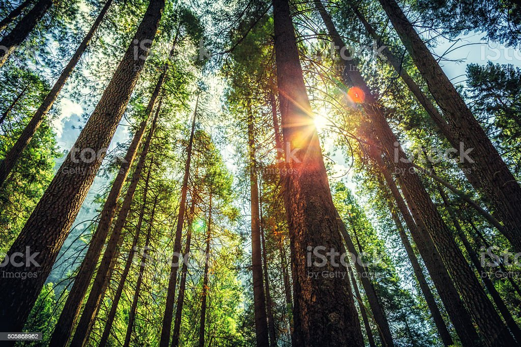 Sunlight Through the Tall Trees stock photo
