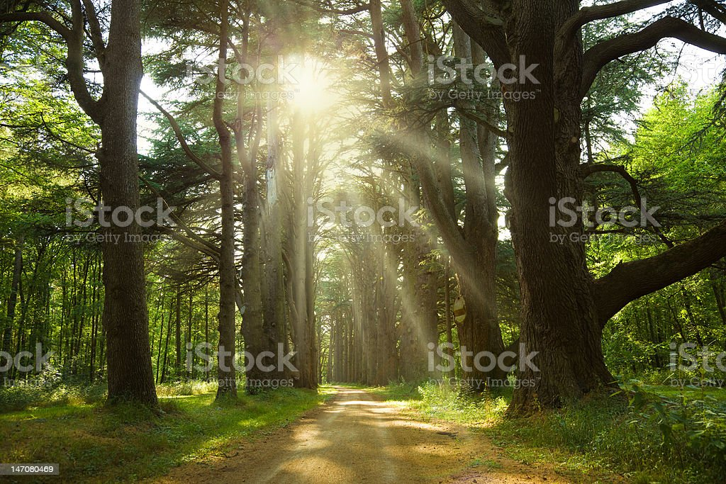 Sunlight trough cedar trees stock photo