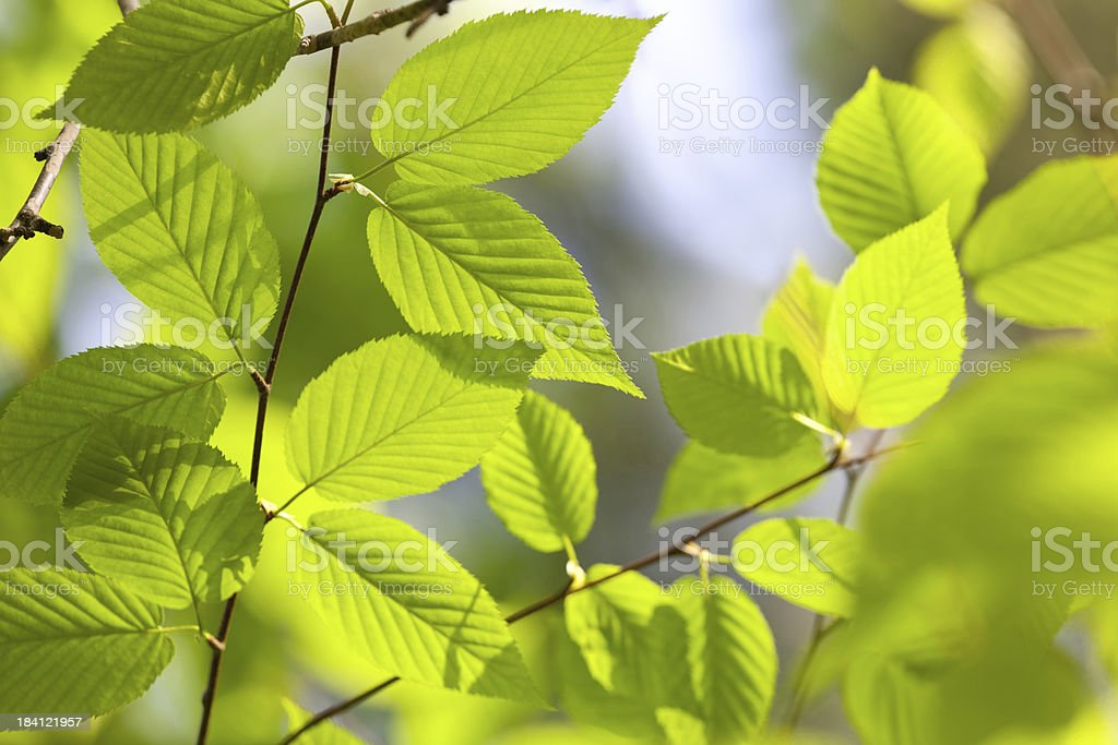 Sunlight warms new spring leaves stock photo
