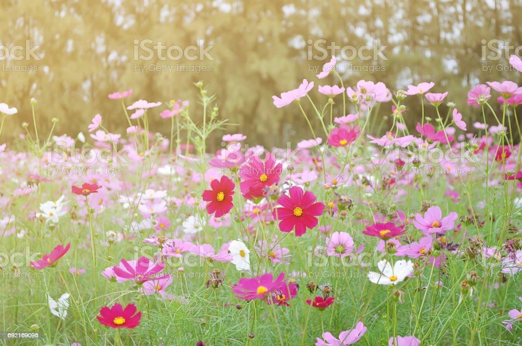 Sunlight with fields Cosmos beautiful stock photo