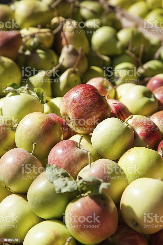 sunlit apples stock photo