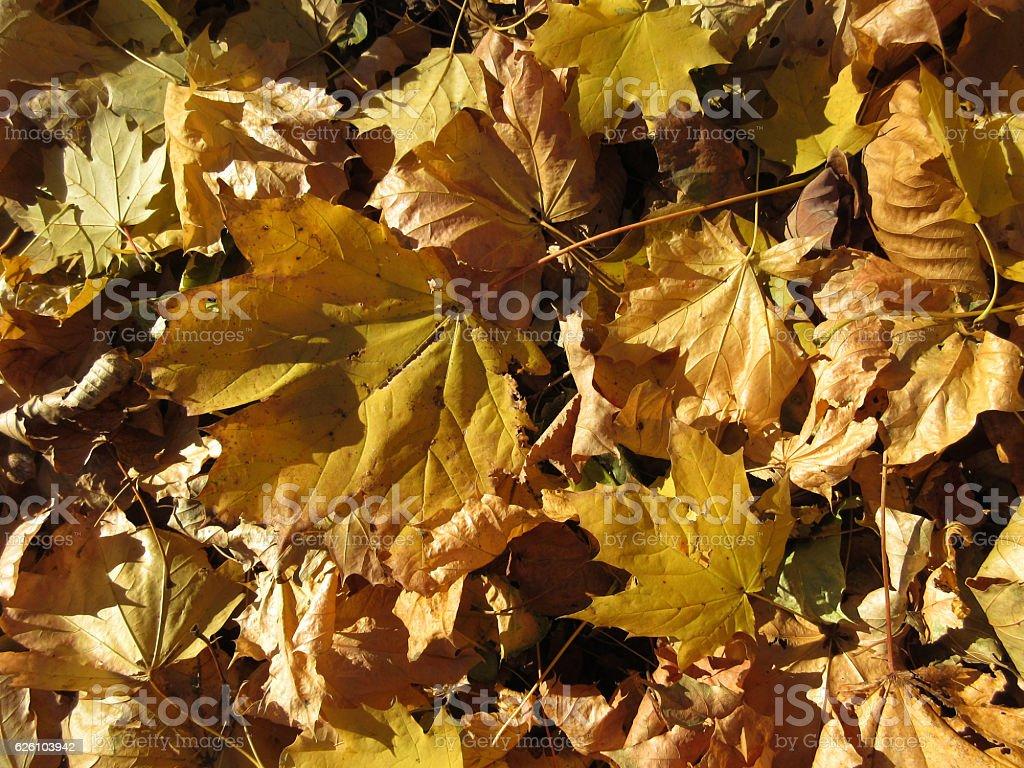 Sunlit Autumn Leaves stock photo