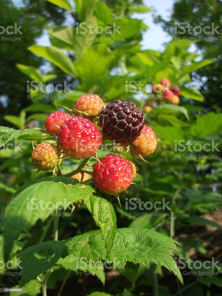 Sunlit Black Raspberries in Spring stock photo
