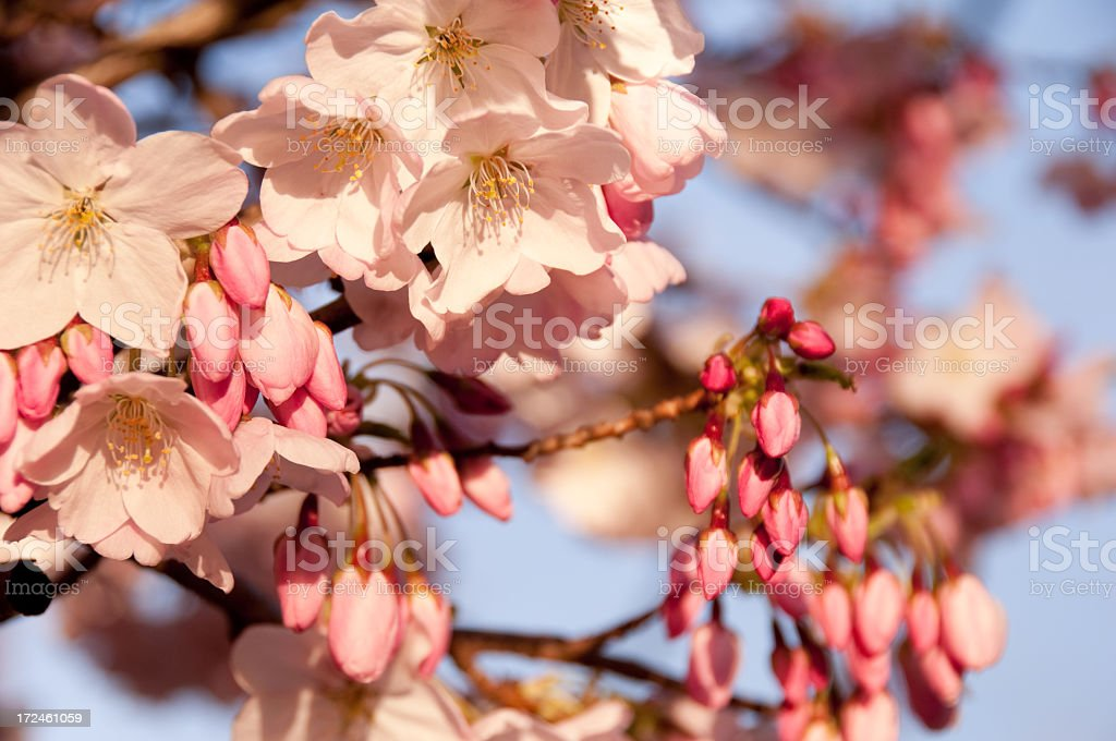 Sunlit Cherry Blossoms royalty-free stock photo