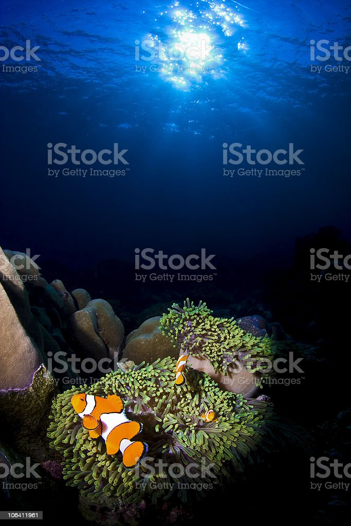 Sunlit clownfish on the reef stock photo
