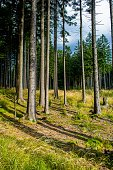 Sunlit Conifer Forest