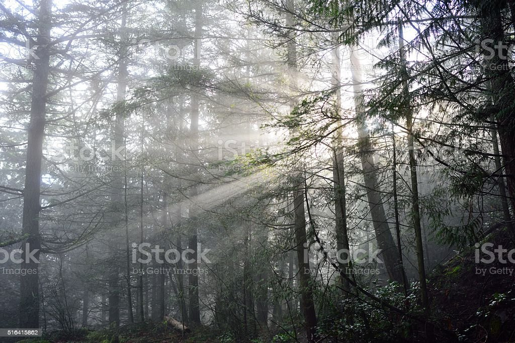 Sunlit Foggy Forest stock photo