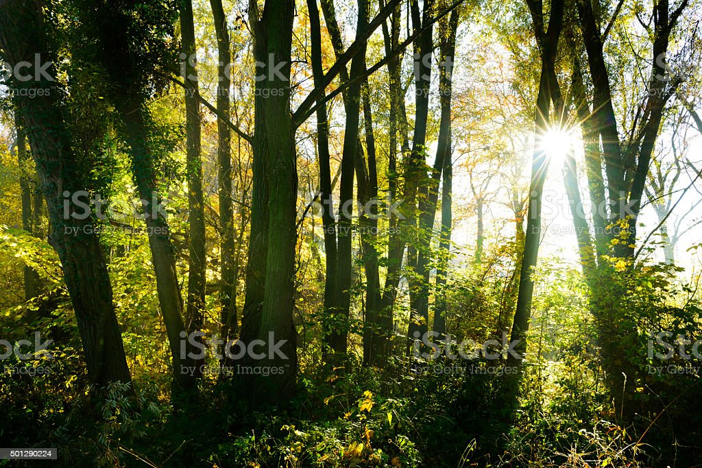 Sunlit Forest of Ivy Covered Alder, Maple and Willow Trees stock photo